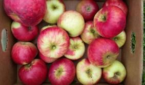 No spray juicy apples