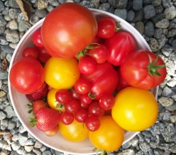 Variety no spray tomatoes
