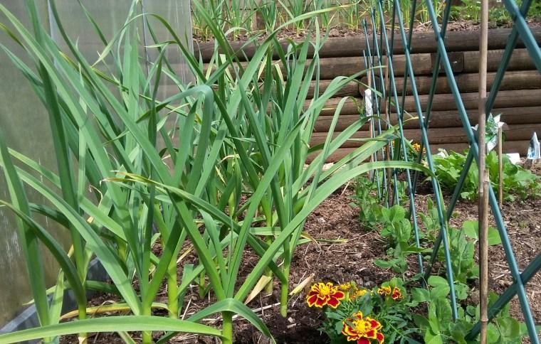 Fall Garlic and spring peas
