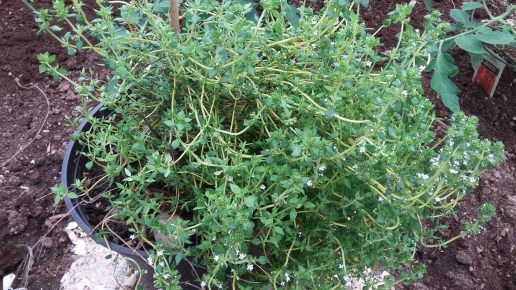 Thyme in flower in May