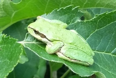 Green Tree Frog - Lower Mainland (unidentified)