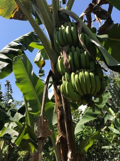A full-looking banana tree in the jungle