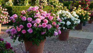 cara menanam bunga mawar di pot
