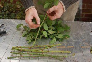 Penyiapan Bibit dalam Cara Menanam Bunga Mawar Secara Stek