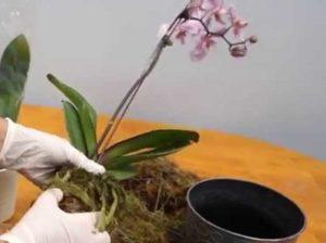 cara merawat tanaman anggrek