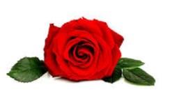 cara menggambar mawar dengan mudah