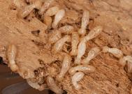 cara mengatasi rayap di rumah