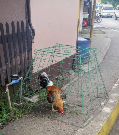 A rooster in a cage