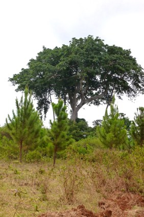 Plantation pines growing close to the sacred Walumbe Tree.