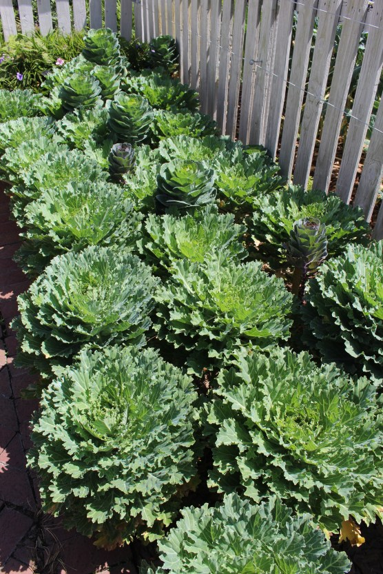 """""""Flowering"""" cabbage. In colder temperatures the leaves would have more vivid color."""