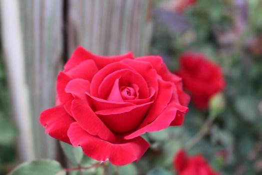 'Don Juan' climbing rose.