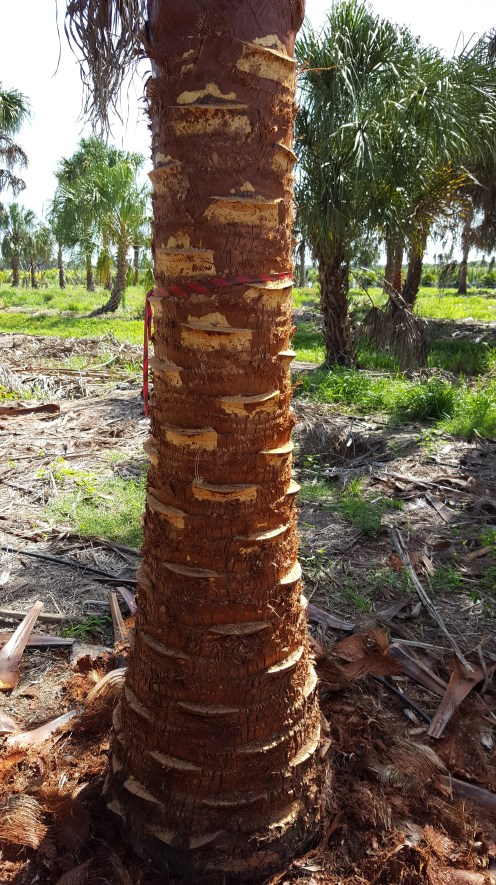 The trunk of the Ribbon palm. Note the trunk is unscathed.