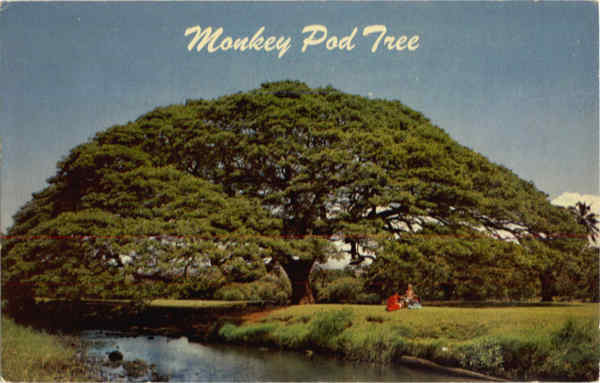 Hawaiian Monkey Pod Tree Trees