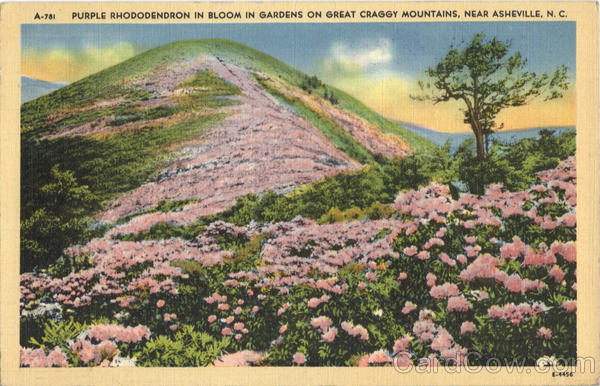 Purple Rhododendron In Bloom In Gardens On Great Craggy