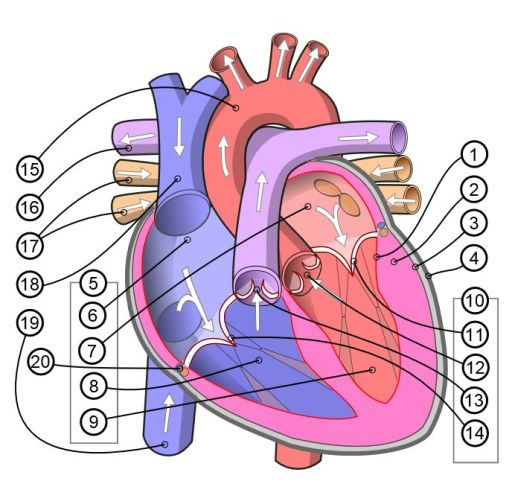 Diagram_of_the_human_heart_(multilingual_2)B