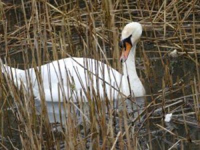 Swan in Faendre Reen