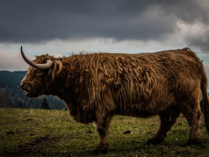 Highland cattle are a Scottish breed of cattle with long horns and long wavy coats which are coloured black, brindled, red, yellow or dun.