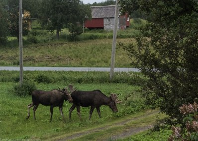 Elg - Moose (North America) or elk (Eurasia). They passed by our window when we were up North (read more about our trip to the North in separate posts).
