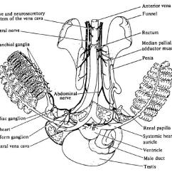 Octopus Water Vascular System Diagram Msd 6al Wiring Sbc Cardiovascular If The Changes It Will Affect Ability To Breathe This Lack Of Oxygen Is Probably Why Octopi Although Very Mobile Do Not Partake In