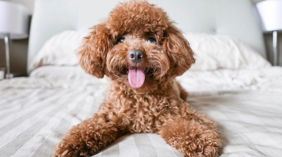 Poodle Dog Breeds for Seniors Companion