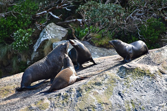 Sea lions - Milford Sound - Fjordlands - South Island - New Zealand