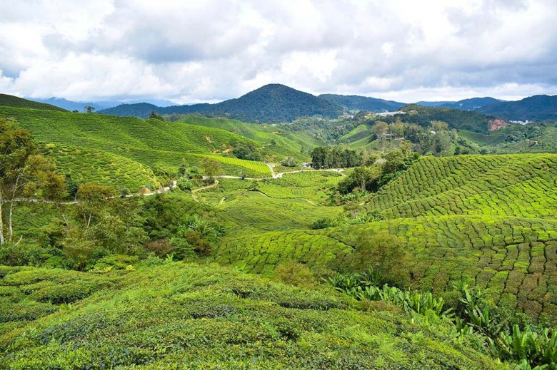 The iconic tea plantations at Cameron Highlands