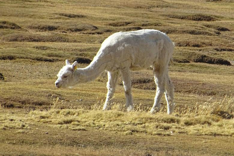 A llama at La Reserva de Llamas y Vicuňas near the Colca Canyon
