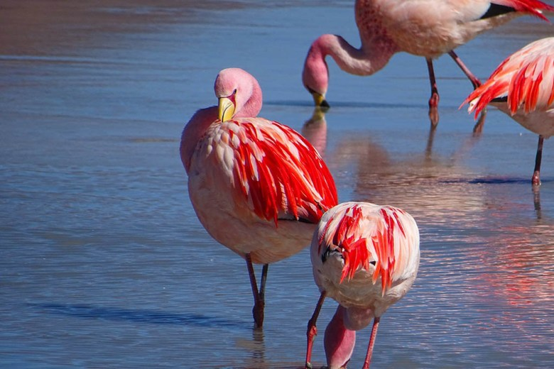Flamingos bathing in Laguna Hedionda