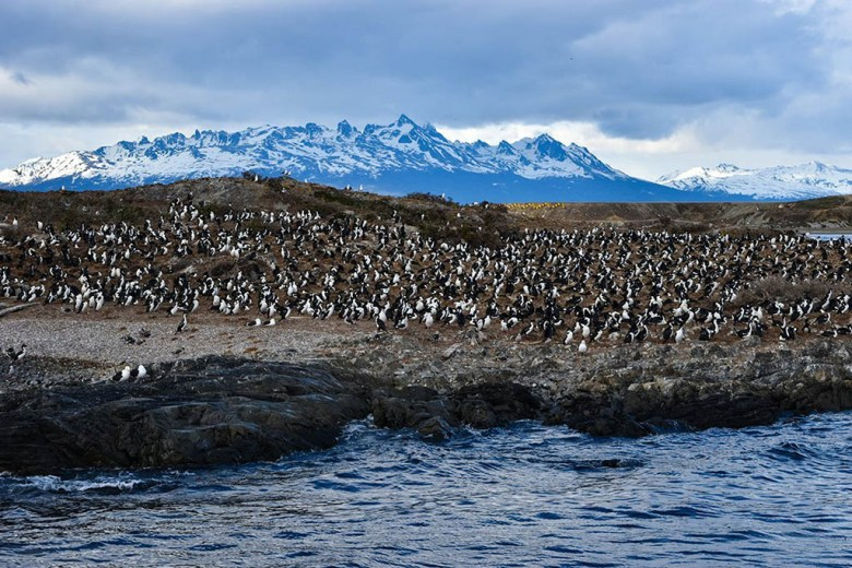 Penguins flocking in the Beagle Channel, near Ushuaia