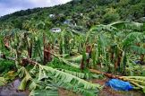 Storm-ravaged banana plantation. Photo Credit: Horst Michael Vogel