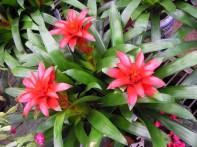 showy bromeliads plant