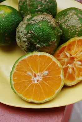 Image result for limon mandarina