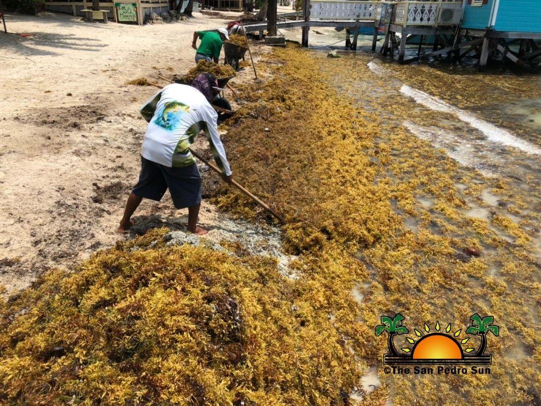 Sargassum surge returns to island beaches