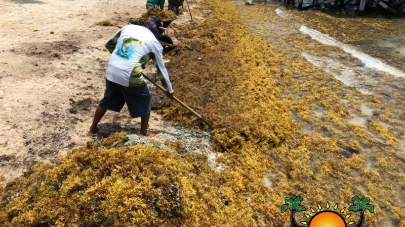 Sargassum surge returns to island beaches