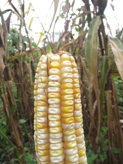 Buscan rescatar siembra y producción de maíz morado en Lázaro Cárdenas
