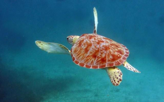 Anuncian en Estados Unidos base de datos para conservación de tortugas