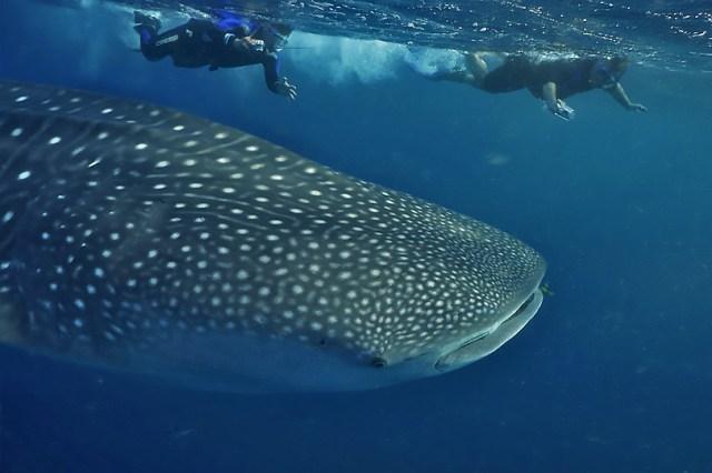 Denuncian a tripulantes de yate que invadió la reserva del tiburón ballena