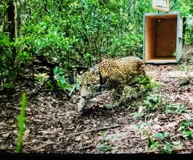 Liberan jaguar silvestre en la Reserva de la Biósfera de Sian Ka´an
