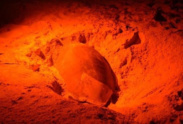 Anuncian inicio anticipado de temporada de anidación de tortugas en Cozumel
