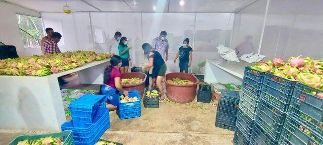 Inicia exportación de pitahaya desde Quintana Roo a Estados Unidos