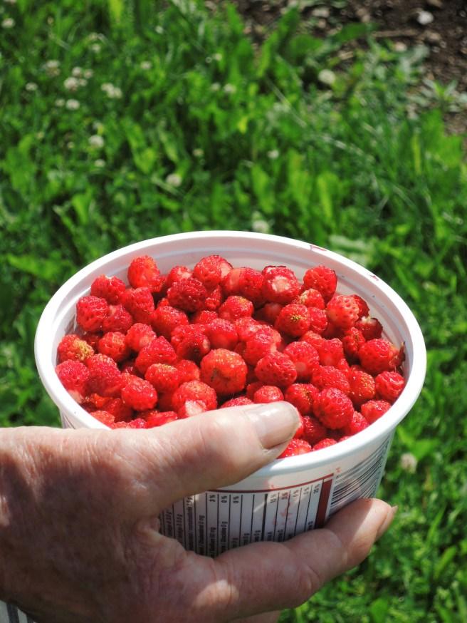petites fraises des champs