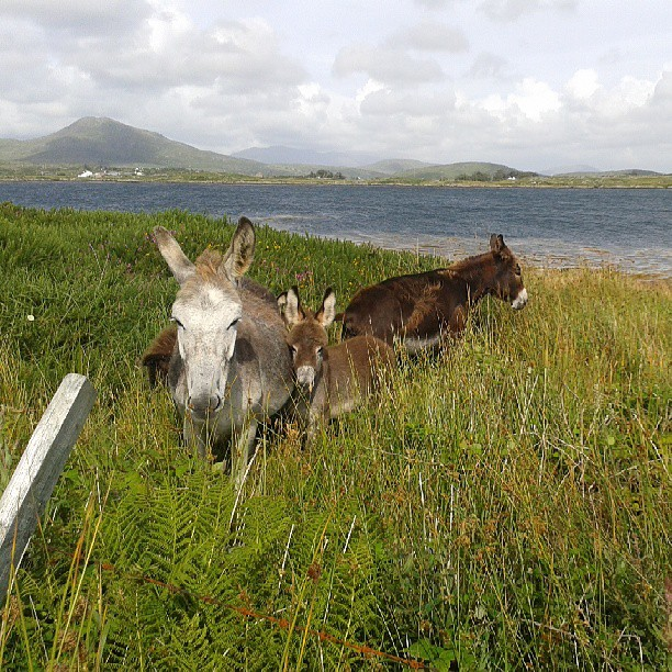 Cute donkey's with Cashel hill in the background
