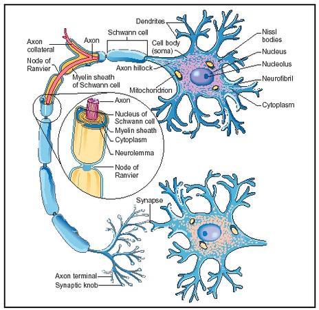 detailed neuron diagram 2jz ge wiring nervous system ap biology picture