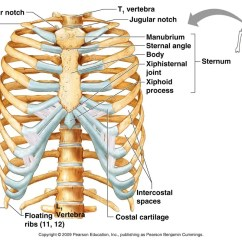 Diagram Of Rib Cage And Muscles Iphone Parts Skeletal System Life Science