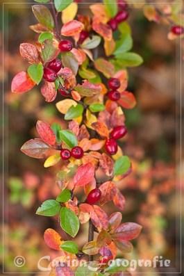 Kriechmispel (Cotoneaster)