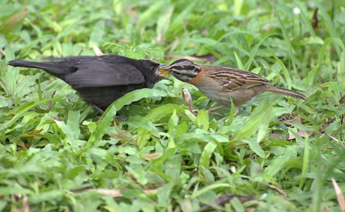 brood parasite shiny cowbird being fed by rufous-collared sparrow