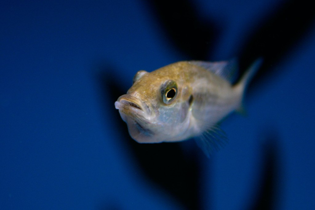 mouth brooding cichlid external fertilization
