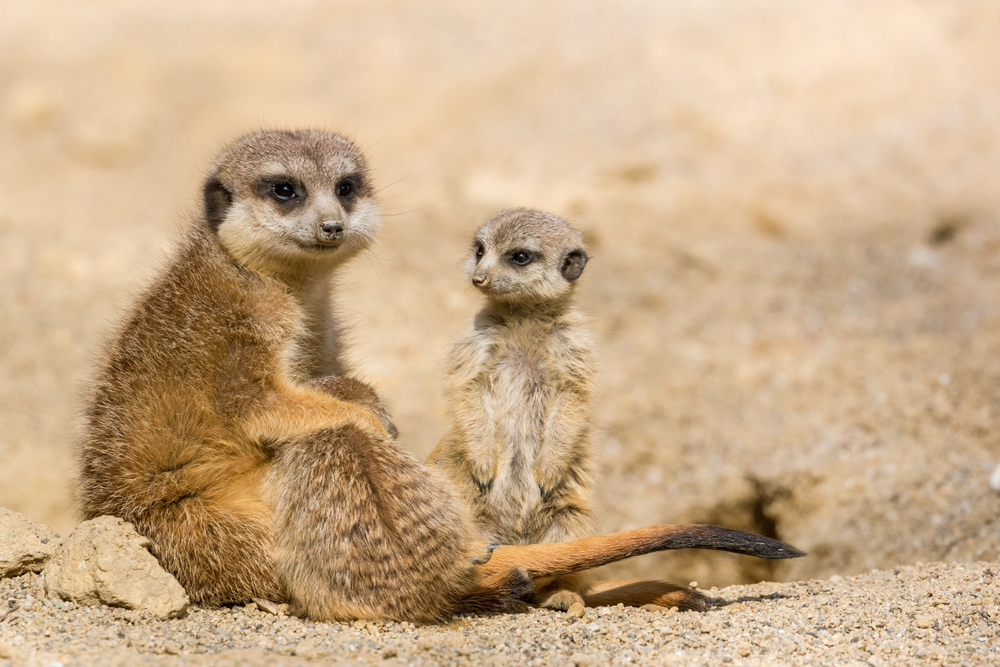 meerkat looking after the meerkat queen's offspring
