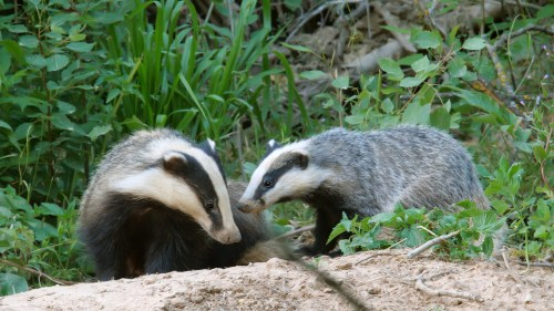 European badger mothers