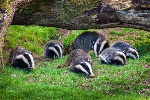 European badger mother and infants